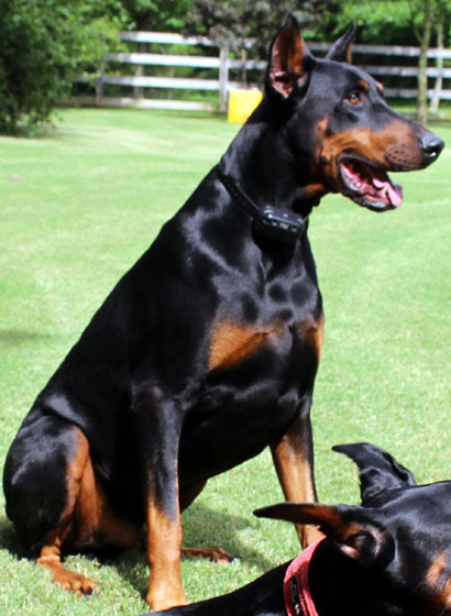 doberman stud dog