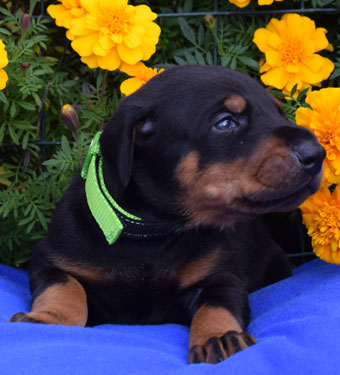 male doberman puppy