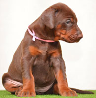 red european doberman puppy