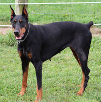 doberman female