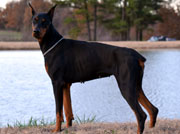 doberman Rollo