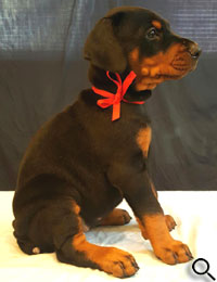 doberman puppies for sale