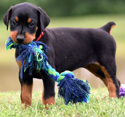 european doberman puppies