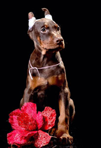 eurpean doberman puppy for sale