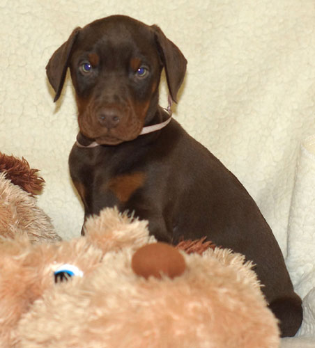 European Doberman Puppies For Sale In Usa Euro Dobies