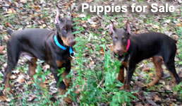 Doberman puppies for sale in USA