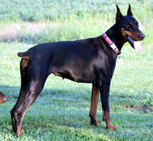 doberman Pebble