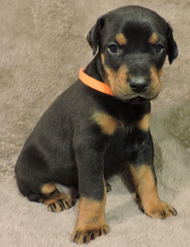 doberman puppy for sale