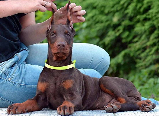 Euro doberman puppy