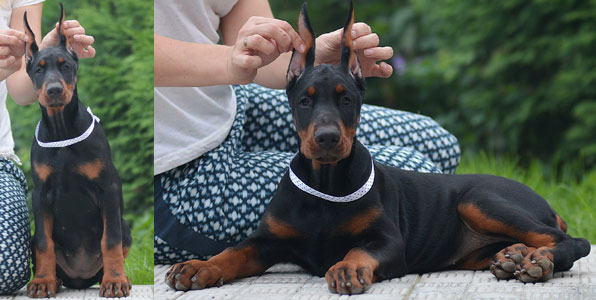 european doberman puppies for sale