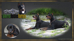 european doberman puppies stud services