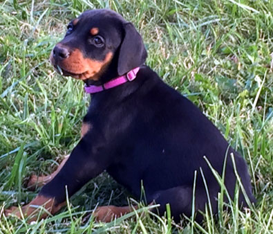 female doberman puppy
