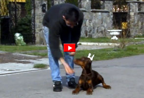 doberman training watch in YouTube