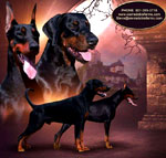 euro doberman puupies for sale USA