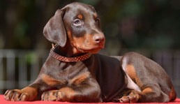 euro doberman puppies for sale
