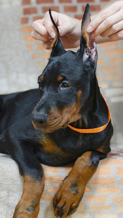 Euro Dobermans Puppies Sold in USA - Sierra Dobie Farms ...