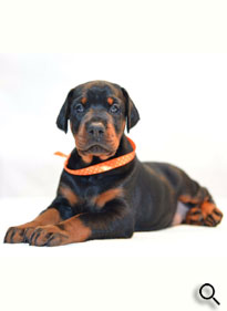 european doberman puppy for sale