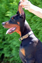 european doberman puppy