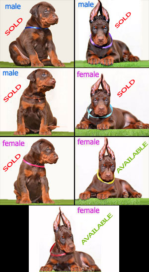euro doberman puppies